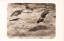 ARGENTINA-TEROS-AVES-BIRDS-FOT.KOHLMANN Nº1273- EDIT.BOURQUIN-NO CIRCULADA-GECKO. - Argentine