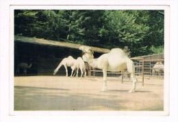 24027 ( 2 Scans ) Mehara - Camelus Dromedarius Linnaeus - Animals
