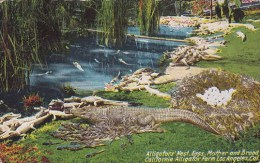 Alligators Nest Eggs Mother And Broad California Alligator Farm Los Angeles California 1920
