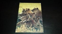 C-13334 CARTOLINA FAMIGLIA DI LEONI - AFRICAN WILDLIFE - Lions