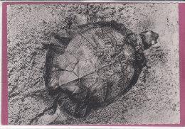 TORTUE RAYONNEE  De Madagascar - Schildpadden