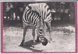 ZEBRE - Cebras