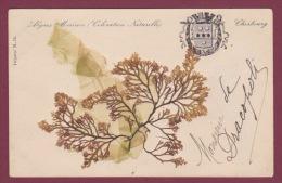 50 - 130914 - CHERBOURG - Algues Marines (coloration Naturelle)- Herbier - Cherbourg