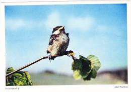 """Karte """"Piepmatz"""" Nach Foto Pischtiak - Card """"Birdie"""" After Photo Pischtiak - Birds"""