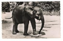 """CÔTE  D´ IVOIRE  /  CERCLE  DE  DABOU  /  """" ALI """"   ELEPHANT  DE  DABOU - Côte-d'Ivoire"""