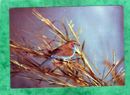 Gambian Wildlife Red-cheeked Cordon-bleu Uraeginthus Bengalus The Gambia - Gambie
