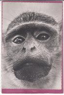 VERVET - Affen