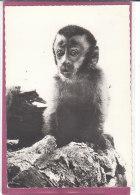 SAPAJOU - Affen