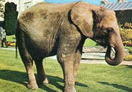 "Postcard - African Elephant ""Christina"" At Bristol Zoo. Q2F - Elephants"