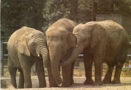 Postcard - African Elephants At London Zoo. A - Elephants