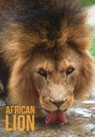 Postcard - African Lion At Colchester Zoo. A - Lions
