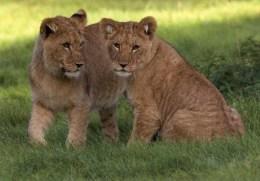 Postcard - African Lions At Woburn Safari Park. WSP007 - Lions