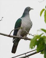 Carte Postale, Oiseaux, Dove Encyclopedia, White-eyed Imperial Pigeon, Ducula Perspicillata - Pájaros