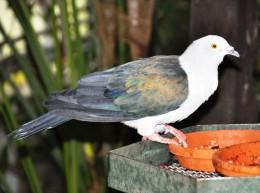 Carte Postale, Oiseaux, Dove Encyclopedia, Blue-tailed Imperial Pigeon, Ducula Concinna - Pájaros