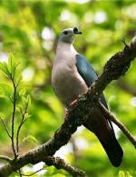 Carte Postale, Oiseaux, Dove Encyclopedia, Pacific Imperial Pigeon, Ducula Pacifica - Pájaros