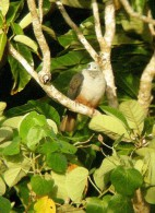 Carte Postale, Oiseaux, Dove Encyclopedia, Micronesian Imperial Pigeon, Ducula Oceanica - Pájaros
