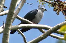 Carte Postale, Oiseaux, Dove Encyclopedia, Polynesian Imperial Pigeon, Ducula Aurorae - Pájaros