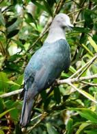 Carte Postale, Oiseaux, Dove Encyclopedia, Nukuhiva Imperial Pigeon, Ducula Galeata - Pájaros