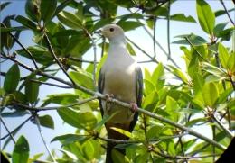 Carte Postale, Oiseaux, Dove Encyclopedia, Pink-headed Imperial Pigeon, Ducula Rosacea - Pájaros