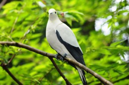 Carte Postale, Oiseaux, Dove Encyclopedia, Pied Imperial Pigeon, Ducula Bicolor - Pájaros