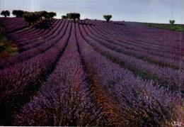 80773 - En Provence      Champ De Lavande - Cultures