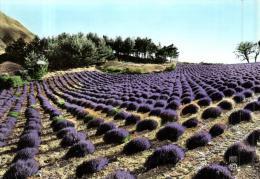 80774 -  Paysage De Provence      Un  Champ De Lavande - Cultures