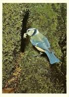 455.MESANGE BLEUE - Pájaros