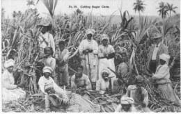 CUTTING SUGAR CANE - Jamaïque