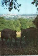 Postcard - Asian Elephants At Windsor Safari Park. SP.2492 - Elephants