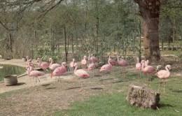 Postcard - Flamingos At Birdworld. KBIRD002 - Birds