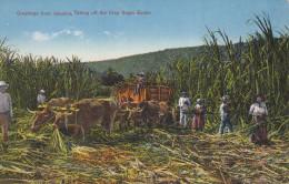 JAMAICA, 1900-1910's; Taking Off The Crop Sugar Estate - Jamaica
