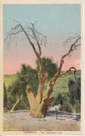 PC Hebron - The Abraham Oak (9042) - Israel
