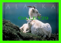 ALASKA  - ALASKAN DALL SHEEP EWE AND LAMB - ARTIC CIRCLE ENTREPRISES - PHOTO BY KIM HEACOX - - United States