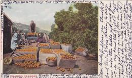 Grading Oranges, LOS ANGELES, California, PU-1904