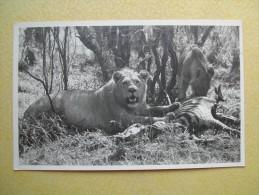 Les Lions. - Kenya