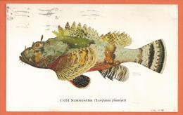 Oct135, Scorpionfish, Scorpaena Plumieri, 103, Trou De Punaise,  Circulée 1967 - Vissen & Schaaldieren