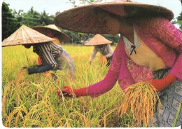 """Indonesia  Indonesin Girls Stand Knee Deep In Paddy Mud Bringing In Last Of 3 Rice Crops 6.8"""" X 4.7""""  17 Cm X 12 Cm - Indonesia"""