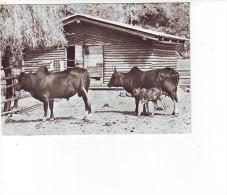 CPA  Tierpark Delitzsch,Zebu - Animals