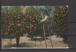 Etats Unis -  St Augustine - Garnet's Orange Grove - St Augustine