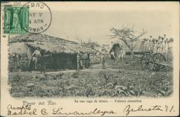 CUBA DIVERS / Pinar Del Rio, En Una Vega De Tabaco / - Cuba