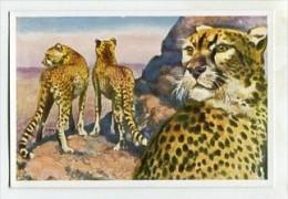 SB8552 Sammelwerk Nr. 3 - Wunder Der Tierwelt - Bild Nr.134 Afrikanischer Gepard - Otros