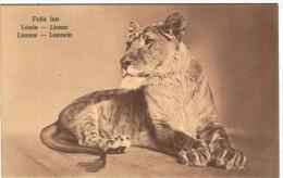 Lionne - Löwin - Lioness - Leeuwin - Série W 78/5  - 2 Scans - Lions
