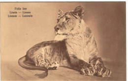 Lionne - Löwin - Lioness - Leeuwin - Série W 78/5  - 2 Scans - Löwen