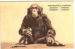 Chimpanzé - Schimpanse - Chimpanzee - Chimpanse - Série W 78/ 1 - 2 Scans - Monkeys
