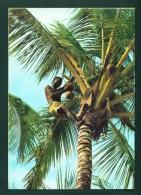 KENYA  -  Coconut Picker  Used Postcard As Scans - Kenya