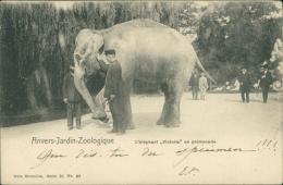 BELGIQUE ANVERS / Jardin Zoologique, L'éléphant Victoria En Promenade / - Belgique