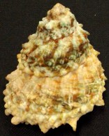 Coquillage - Turbos - Astraea Caelata  (Gmelin, 1791) - Martinique - Coquillages