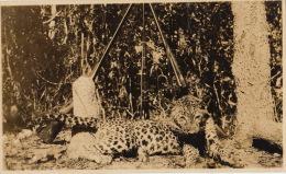 Photo Format Cp Afrique Congo Chasse Trophée Leopard  Route De Jadotville Elville 1923 - Afrika