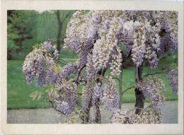 Image Photo De Fleur : La Glycine - Chromos