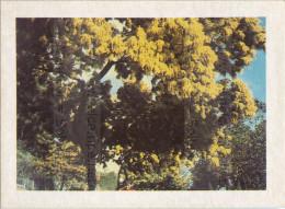 Image Photo De Fleur : Le Mimosa - Chromos